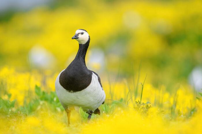 Hvitkinngås | Barnacle goose (Branta leucopsis)