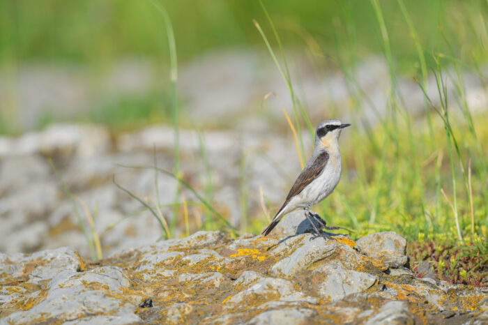Steinskvett | Northern wheatear (Oenanthe oenanthe)