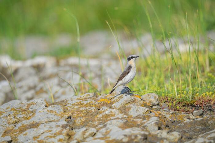Steinskvett - Northern wheatear (Oenanthe oenanthe)