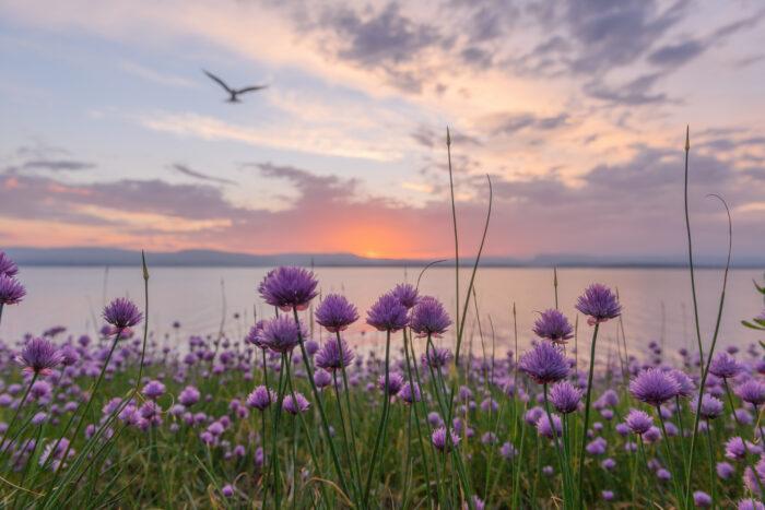 Gressløk - Chives (Allium schoenoprasum)