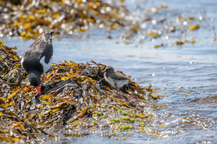 Tjeld - Eurasian oystercatcher (Haematopus ostralegus)