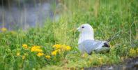Fiskemåke - Mew gull (Larus canus)| Mew gull (Larus canus)