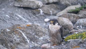 Vandrefalk - Peregrine falcon (Falco peregrinus)