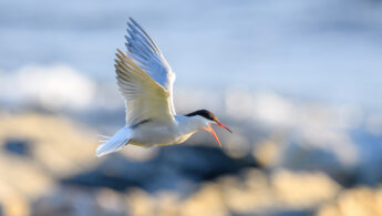 Makrellterne - Common tern (Sterna hirundo)