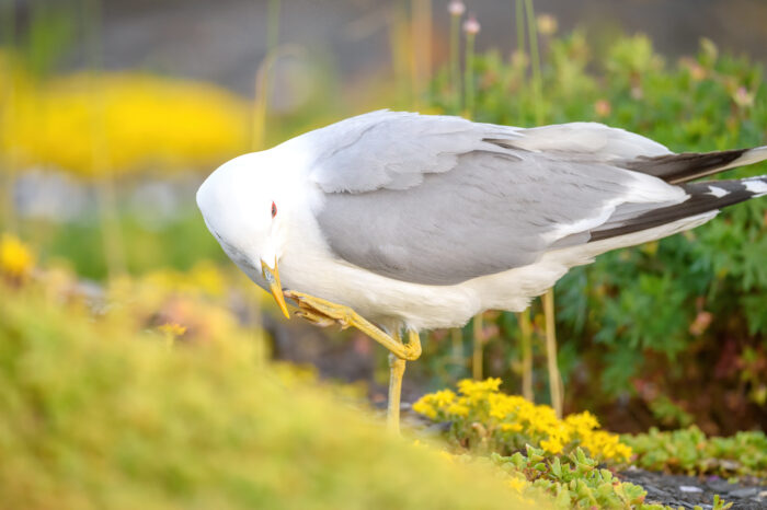 Fiskemåke - Mew gull (Larus canus)
