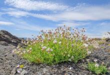 Strandsmelle - Sea campion (Silene uniflora)