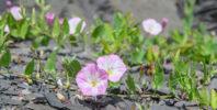 Åkervindel - Field bindweed (Convolvulus arvensis)