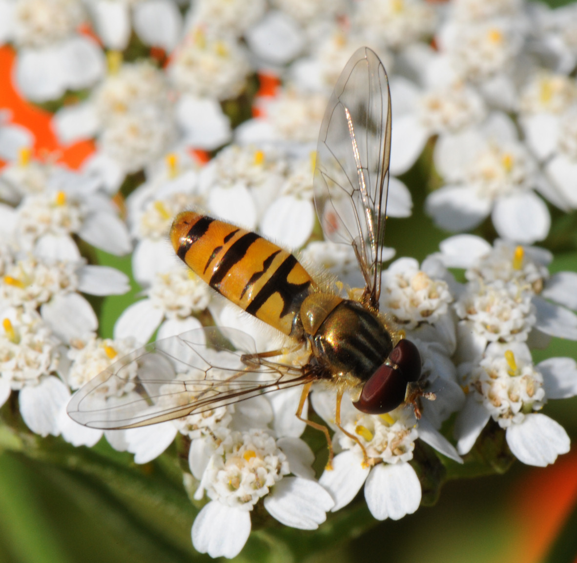 Blomsterflue (Episyrphus balteatus)
